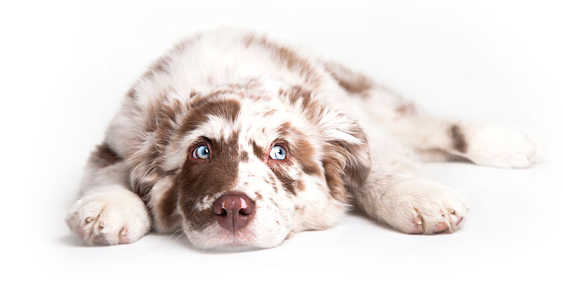 Australian Shepherd puppies for sale in California
