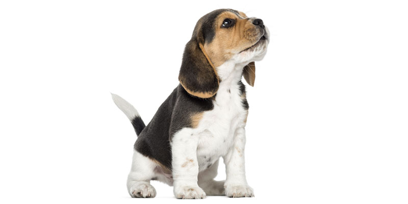 Beagle puppies for sale in California