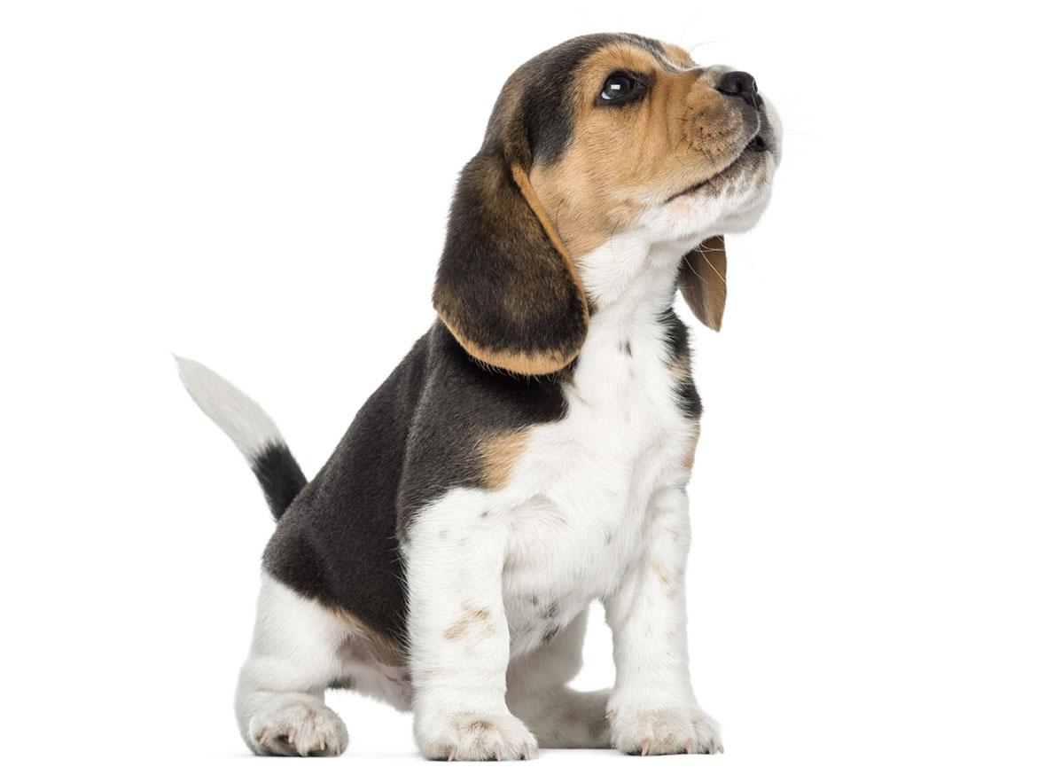 Beagle puppy finder