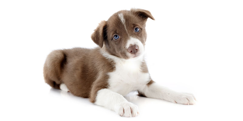 Border Collie puppies for sale in California