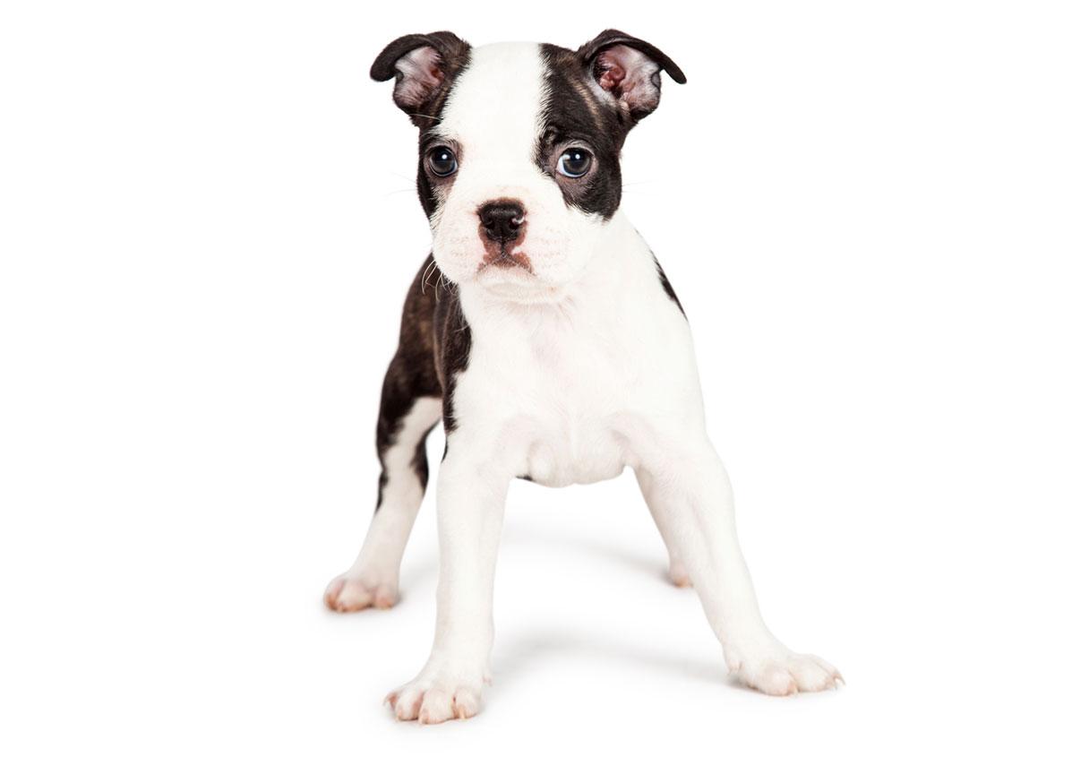 Boston Terrier puppy finder