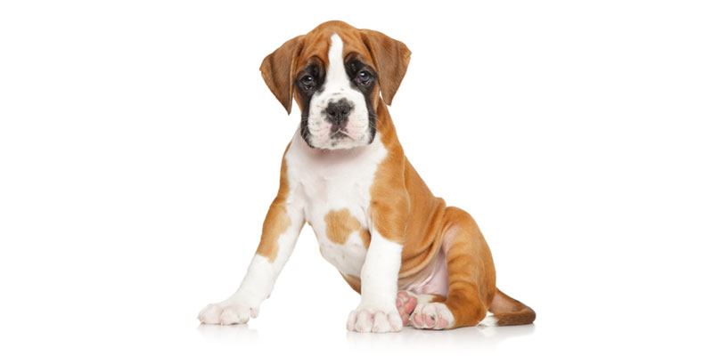 Boxer puppies for sale in California