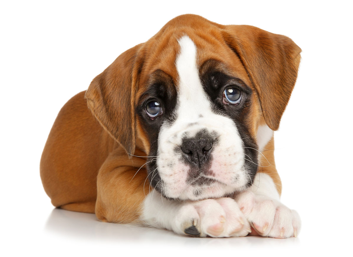 Boxer puppy finder