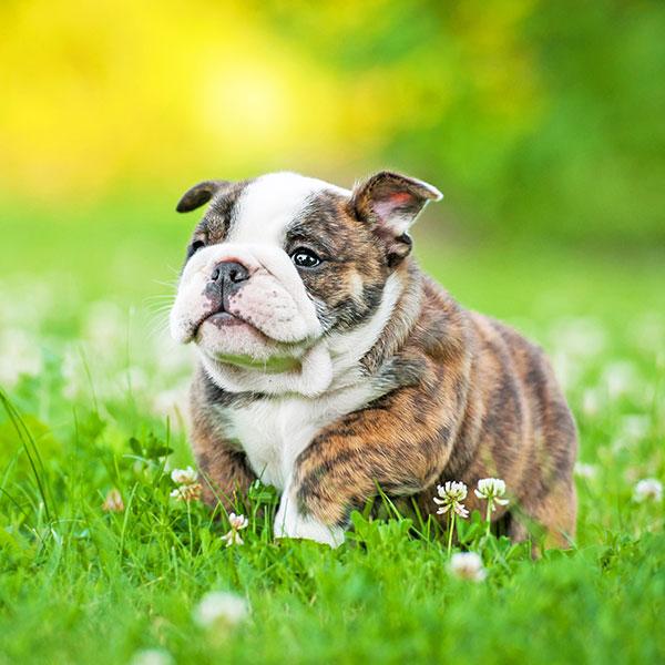 Bulldog puppies for sale