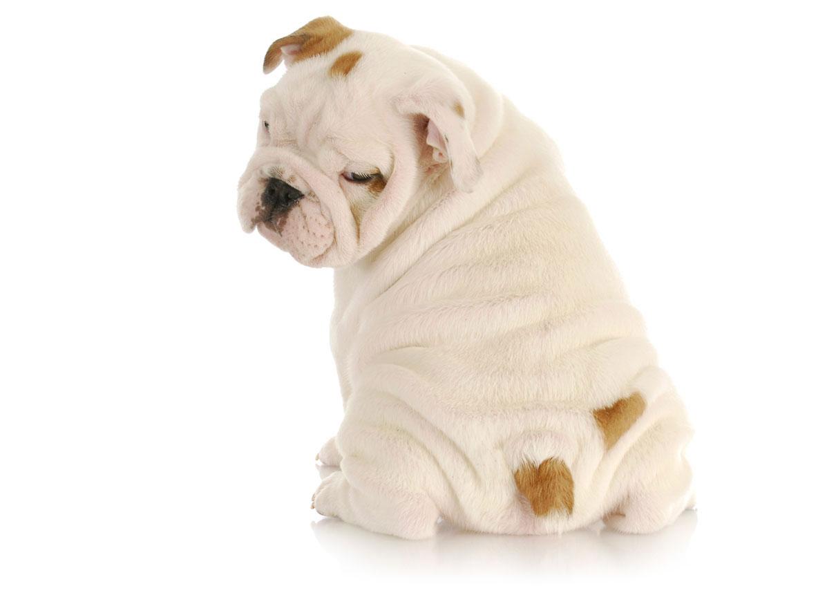 Bulldog puppy finder