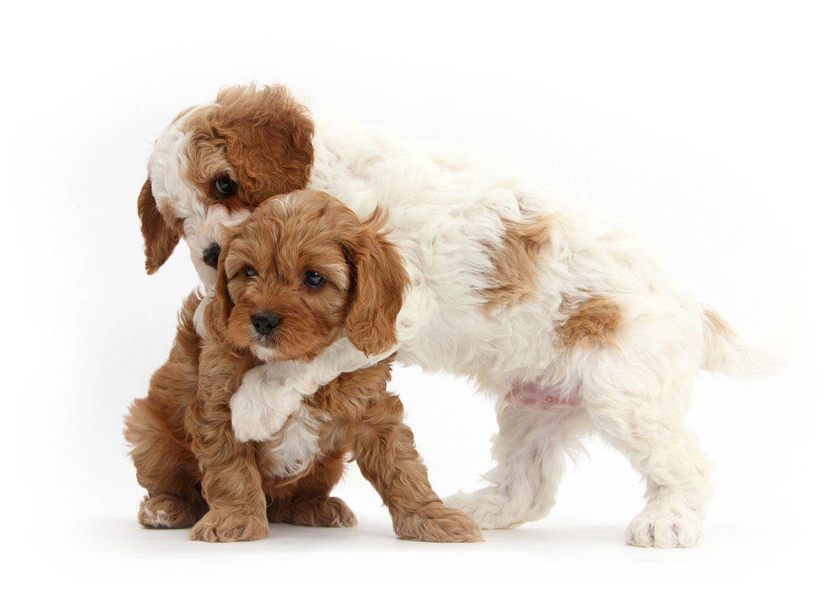 Find Cavapoo Breeders Puppies For Sale In California
