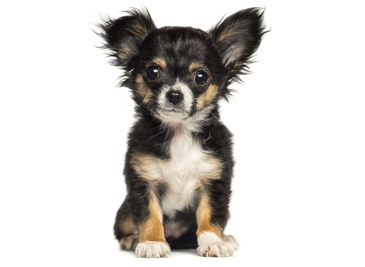 Chihuahua puppy finder