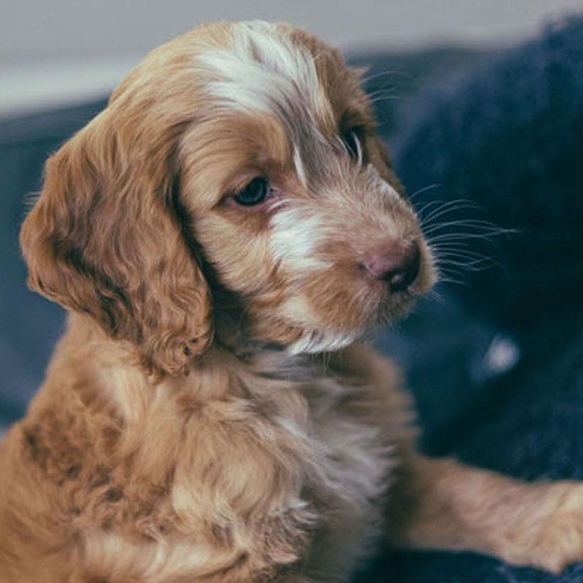 F2 female Cockapoo puppys for sale | Romania
