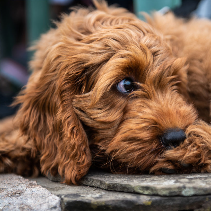 **STUNNING F2 COCKAPOO PUPPIES FOR SALE ** | India