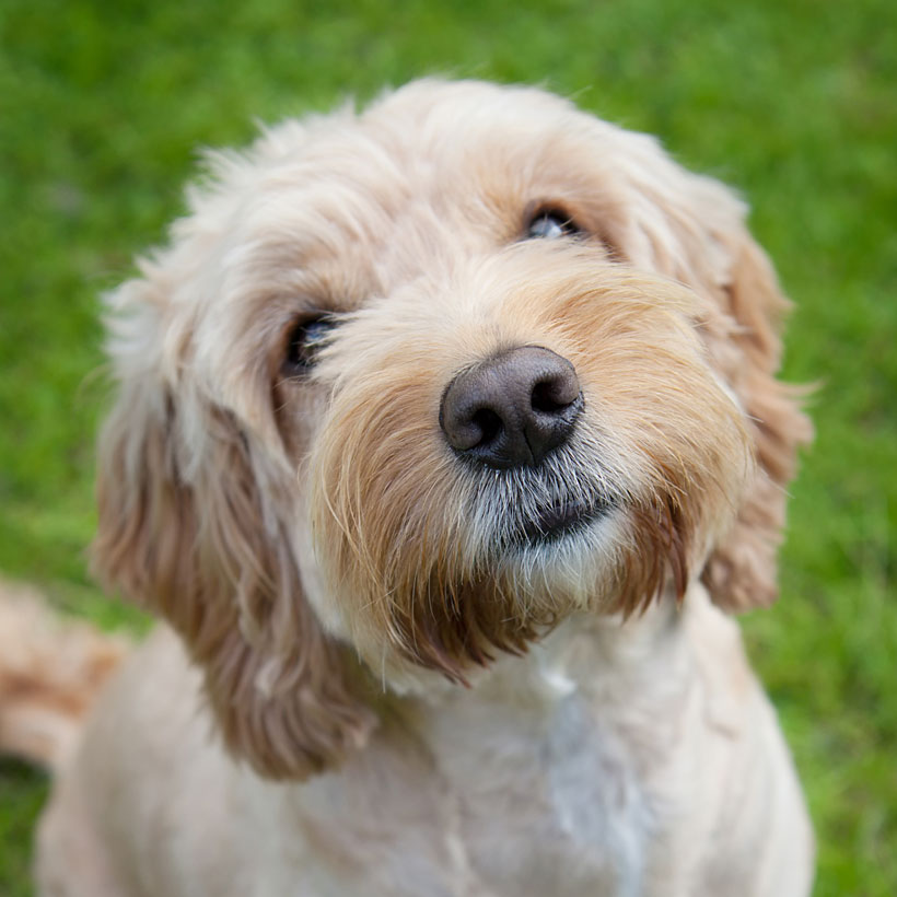 Buy Puppies For Sale Cockapoo In Portugal