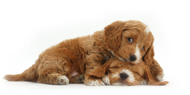 Cockapoo puppies for sale in California