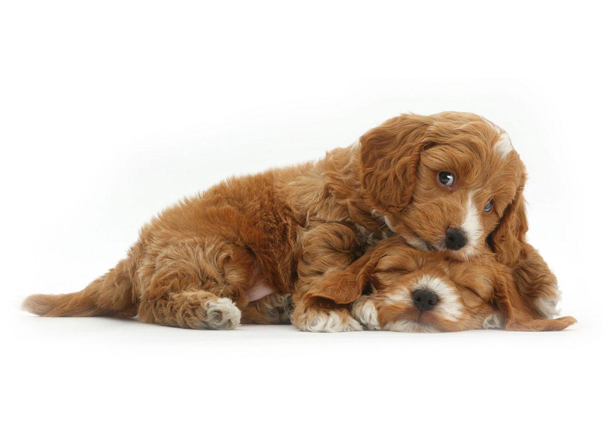 cockapoo puppy finder
