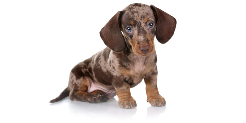 Dachshund puppies for sale in California