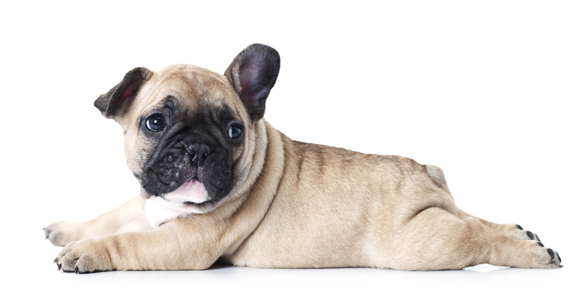 French Bulldog puppies for sale in California