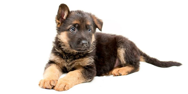 German Shepherd puppies for sale in California