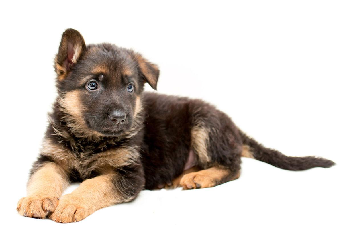 German Shepherd puppy finder