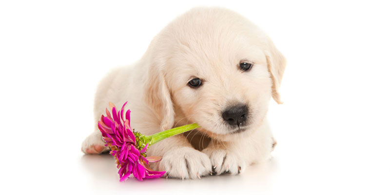Golden Retriever puppies for sale in California