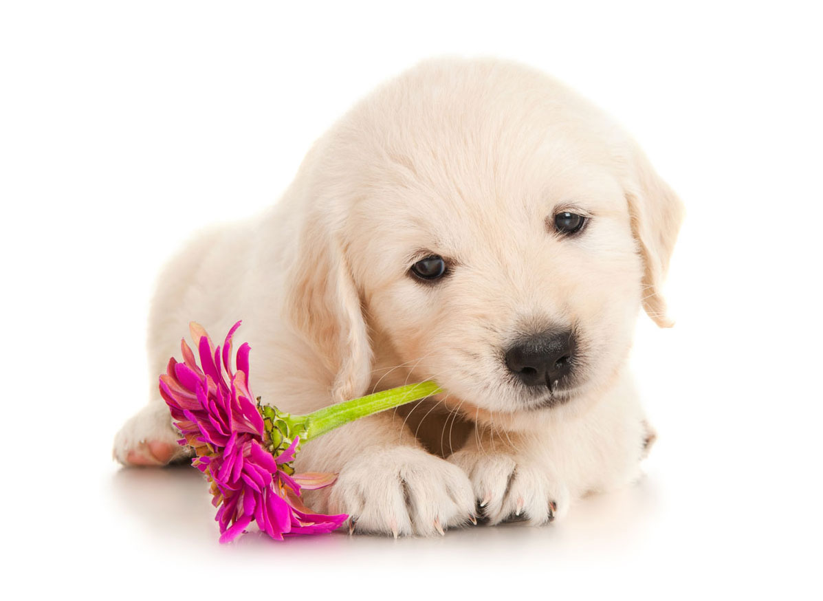 Golden Retriever puppy finder