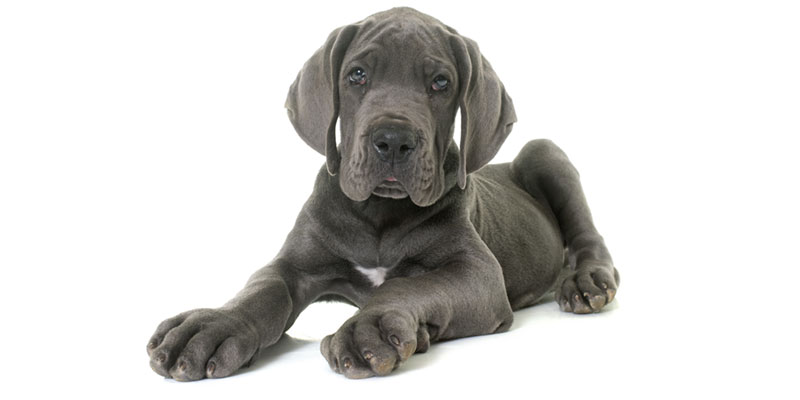 Great Dane puppies for sale in California