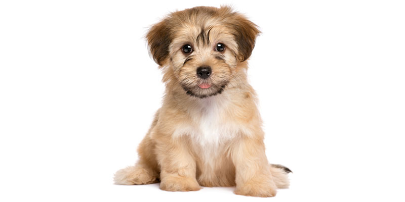 Havanese puppies for sale in California