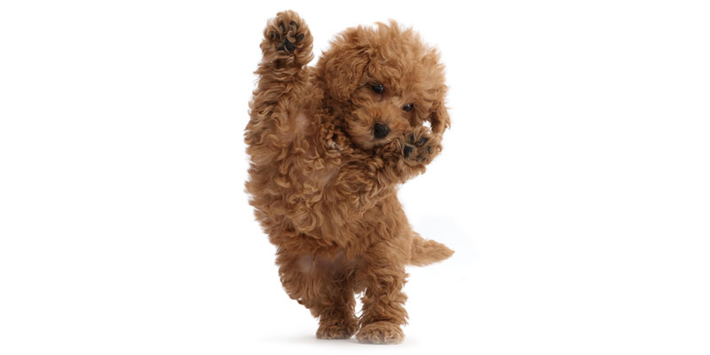 Labradoodle puppies for sale in California