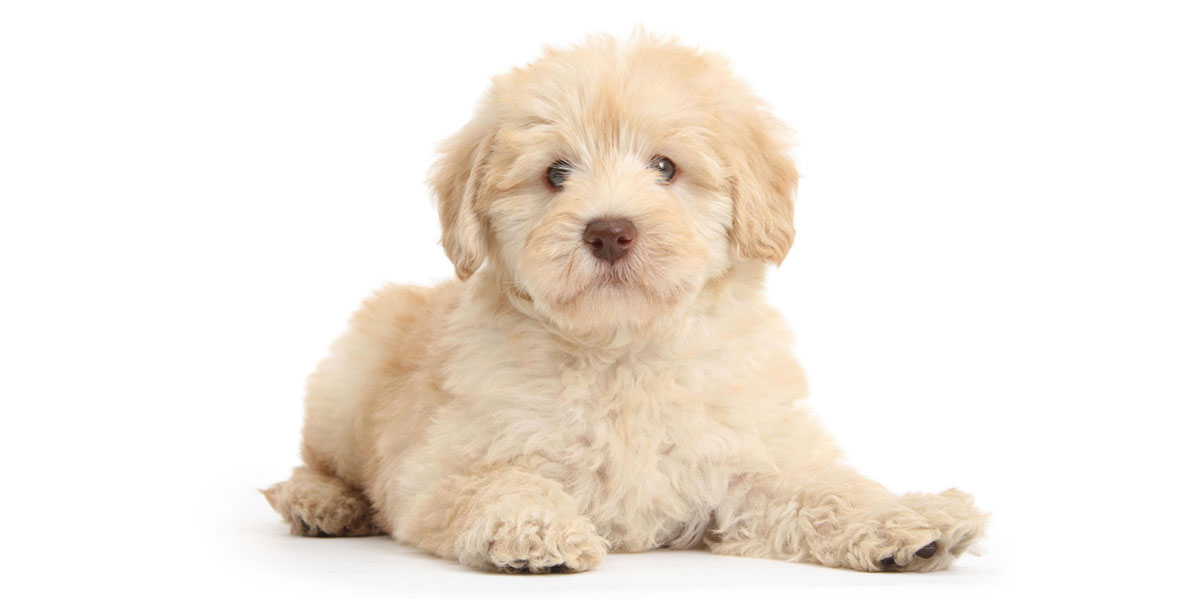 Goldendoodle puppies for sale in California