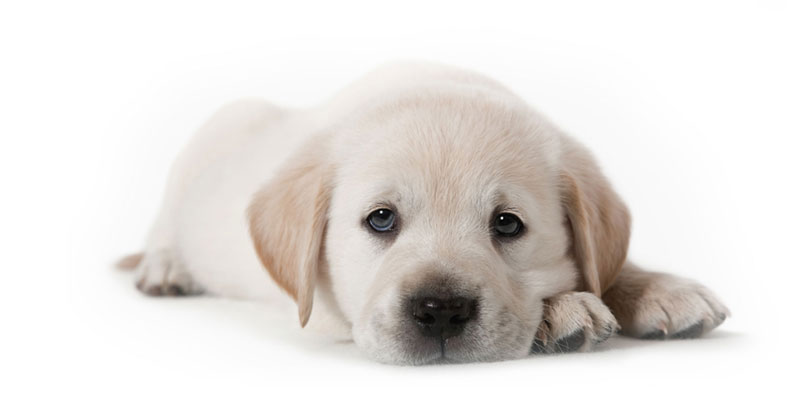 Labrador Retriever puppies for sale in California