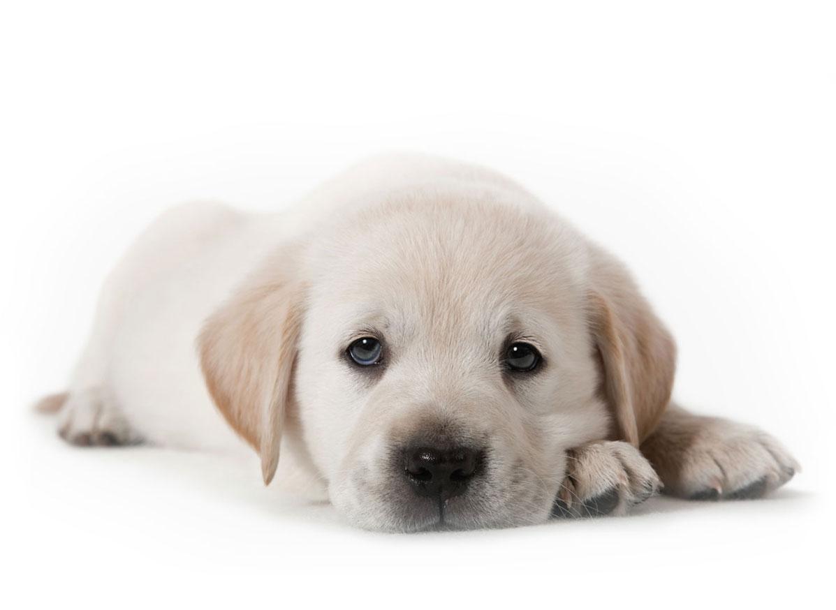labrador retriever puppy finder