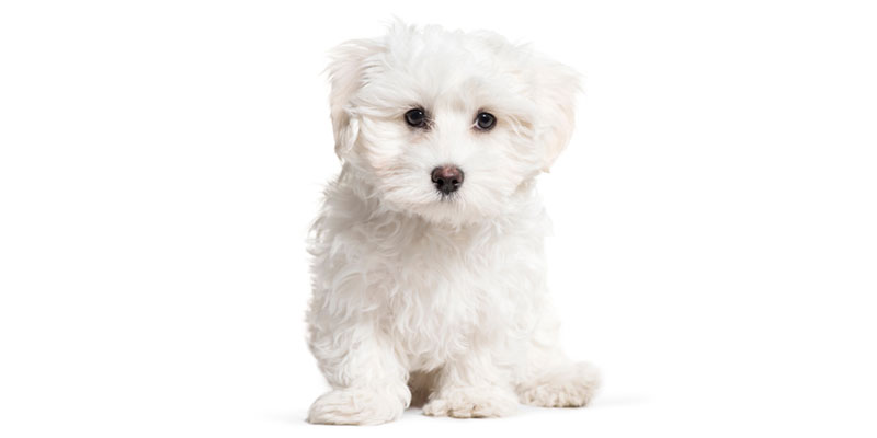 Maltese puppies for sale in California