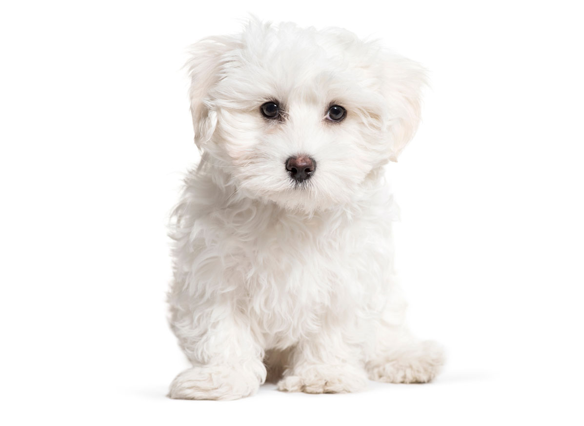Maltese puppy finder
