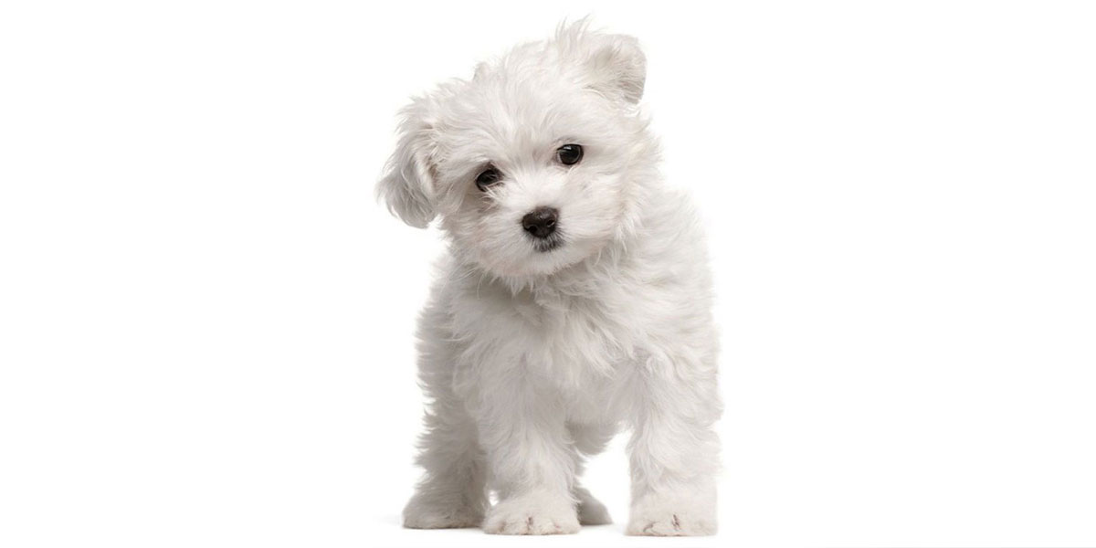 Maltipoo puppies for sale in California