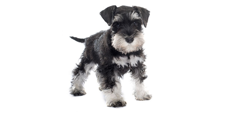 Miniature Schnauzer puppies for sale in California