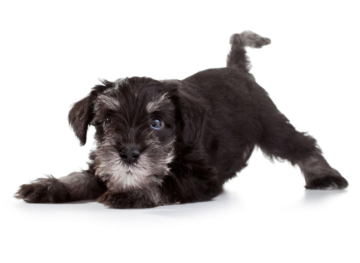 Miniature Schnauzer puppy finder