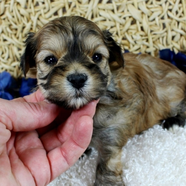 Morkie puppies for sale