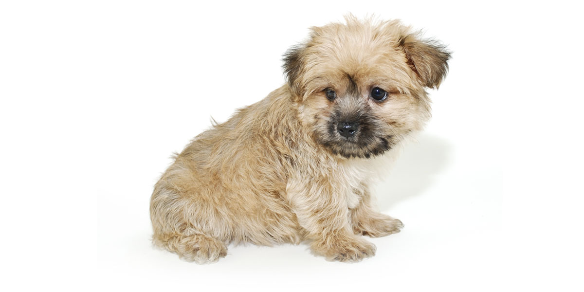 Morkie puppies for sale in California