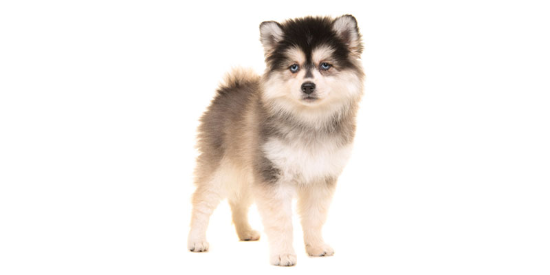 pomsky puppies for sale in California