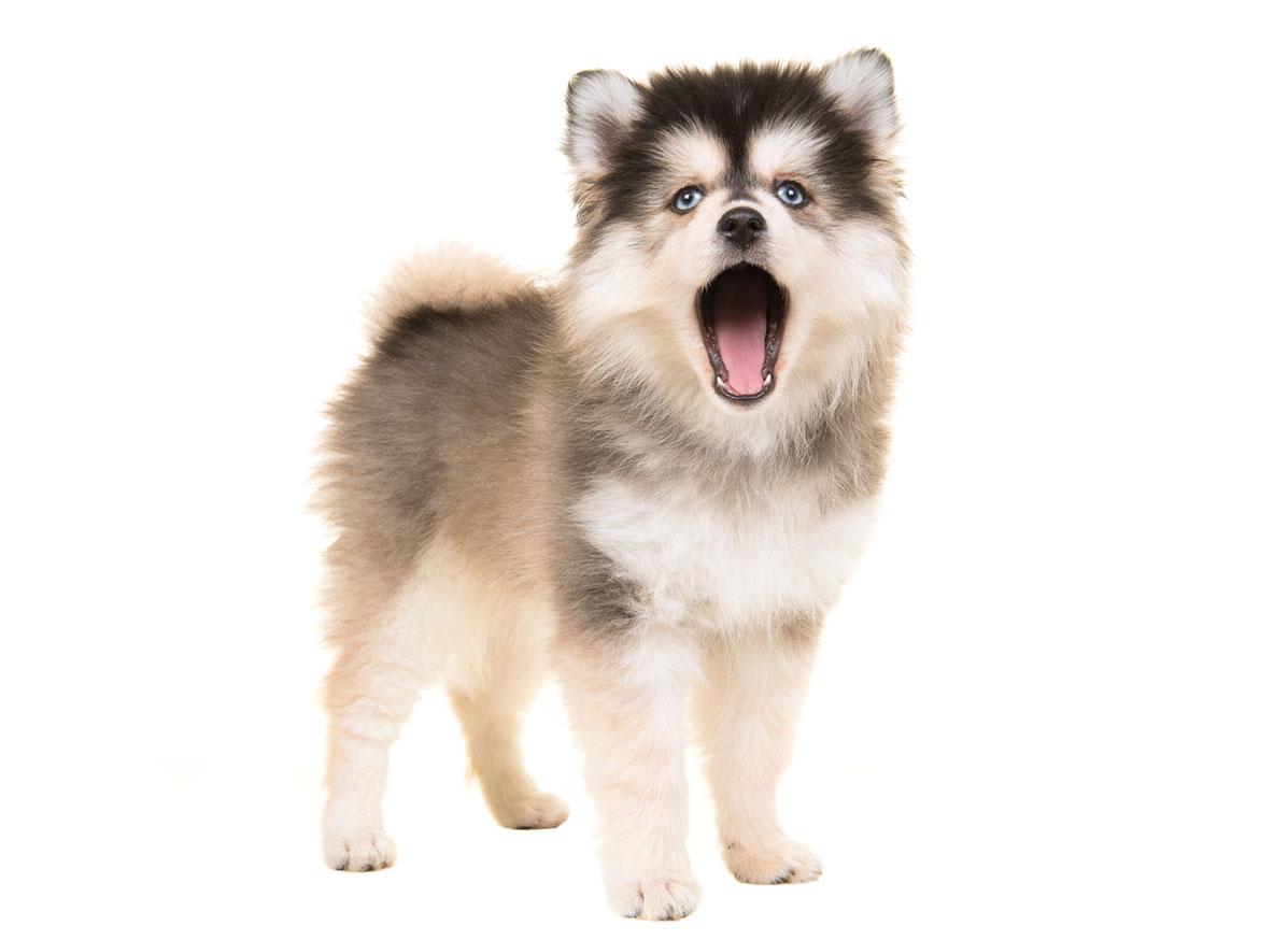Pomsky puppy finder