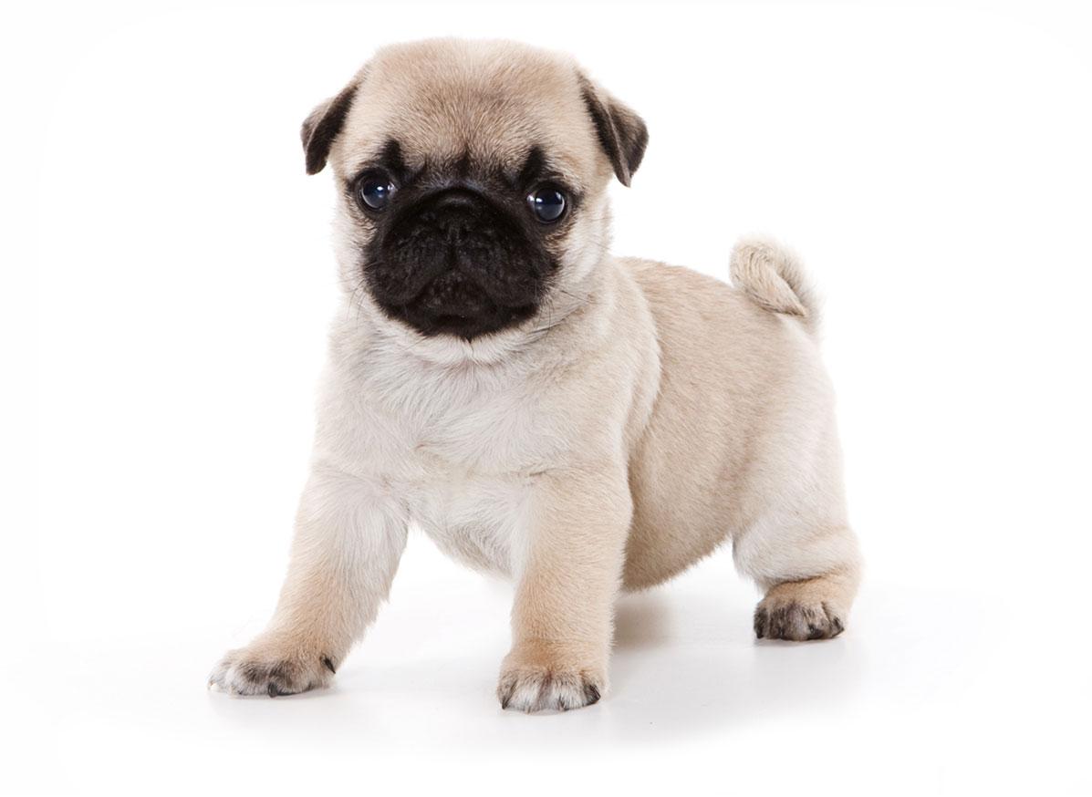 Pug puppy finder