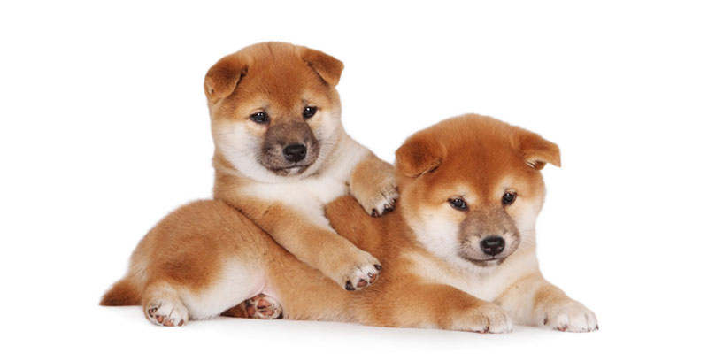 Shiba Inu puppies for sale in California