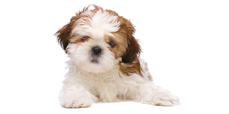 Shih Tzu puppies for sale in California