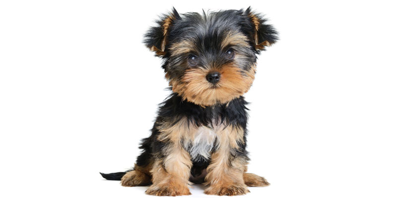 Yorky puppies for sale in California