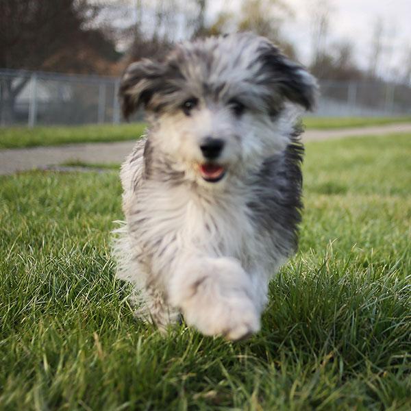 California Puppies Aussiedoodle Breeder
