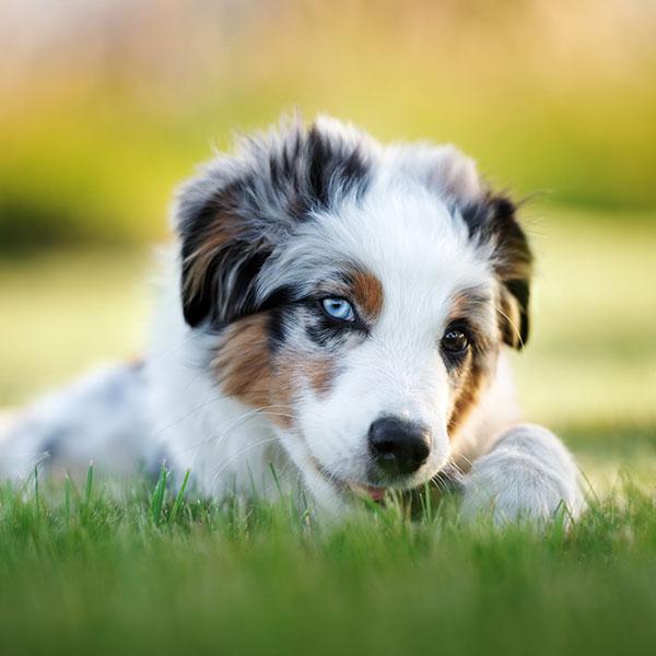 California Puppies Australian Shepherd Breeder