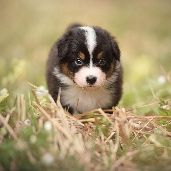 Australian Shepherd puppies for sale