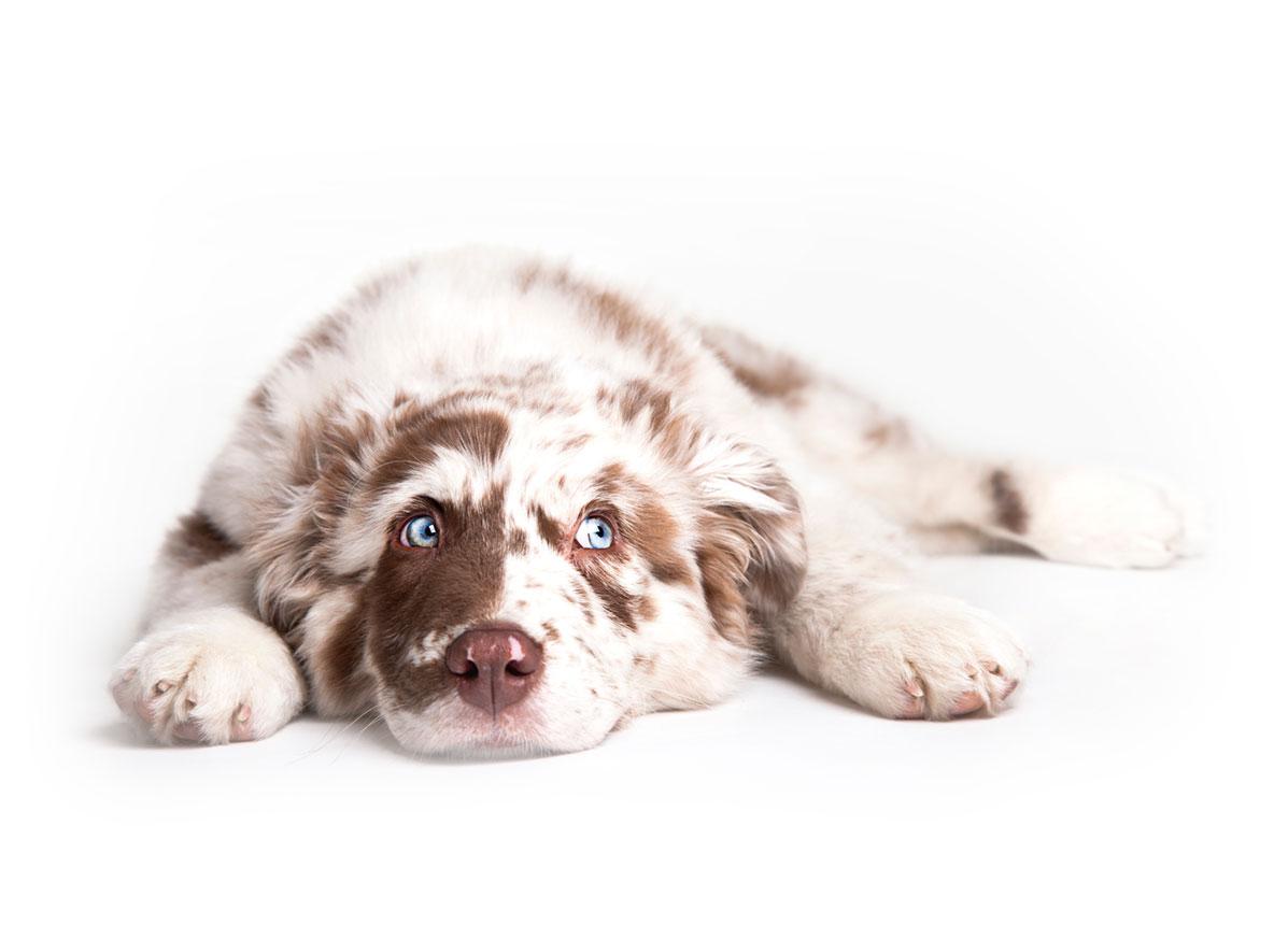 Australian Shepherd Puppies for Sale by California Puppies