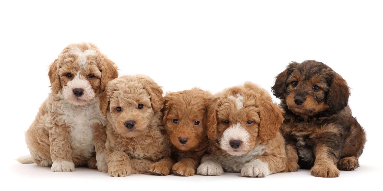 puppyfinder by Uptown Puppies