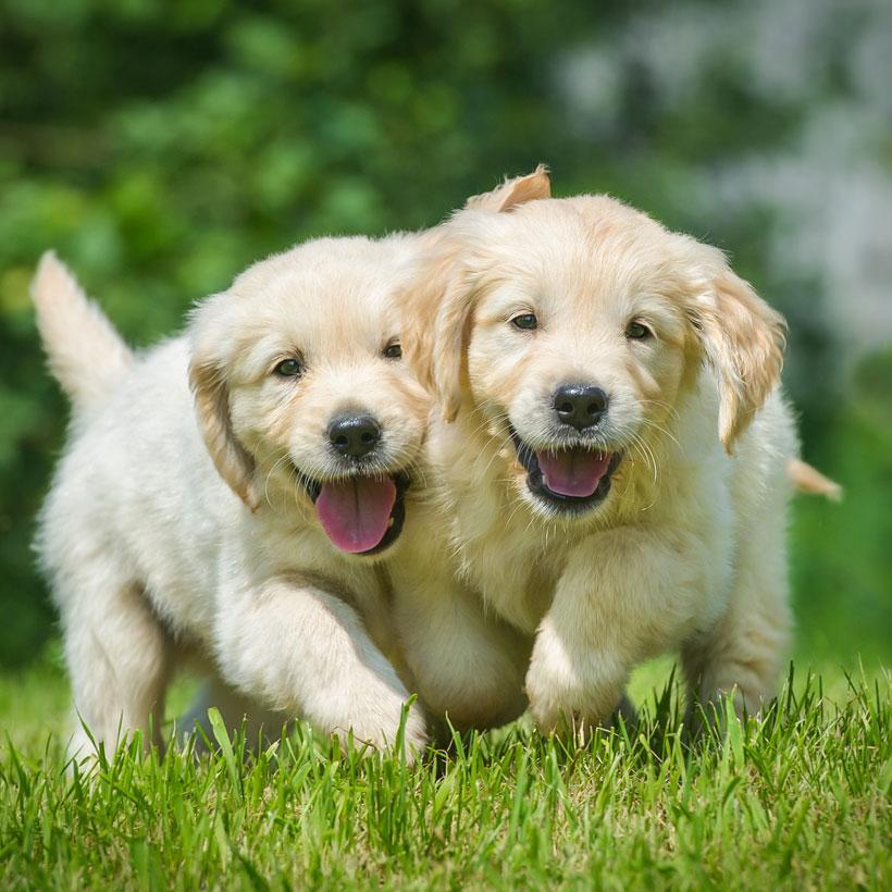 Uptown Puppies Breeder