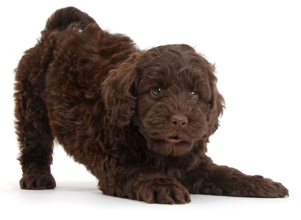 Aussiedoodle Puppies for Sale by California Puppies