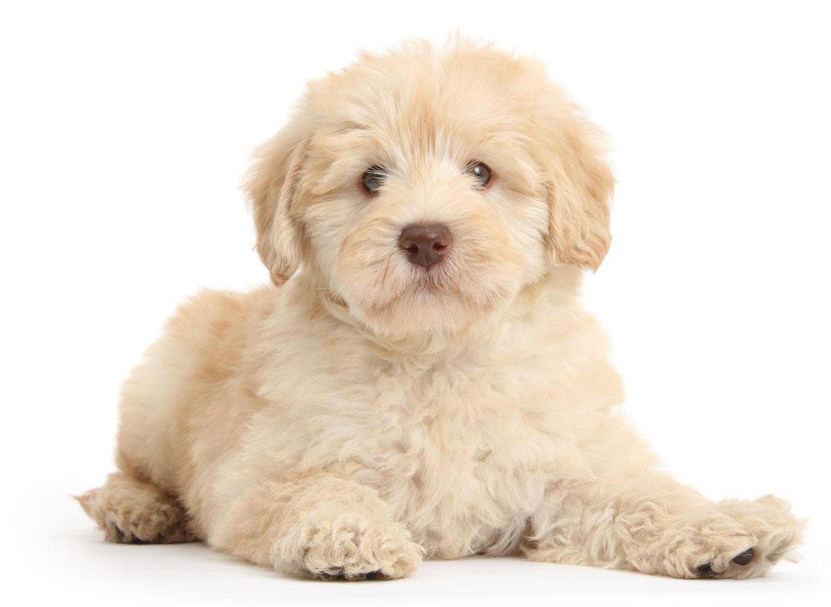 Aussiedoodle puppy finder